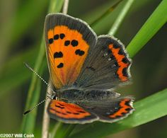 American Copper Butterfly...  (Lycaena phlaeas)