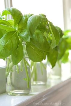 How to Propagate Basil from cuttings - Super simple! Buy one plant and end up with a dozen or more new plants, who doesn't need lots of basil? and these are a perfect gift for foodie friends!
