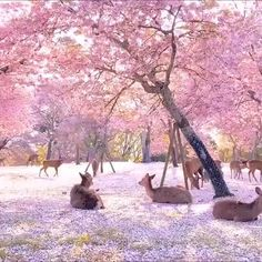 Cherry Blossom Japan, Cherry Blossoms, Aesthetic Japan, Nature Gif, Blossom Trees, Nara, Amazing Nature, Aesthetic Pictures, Beautiful Landscapes