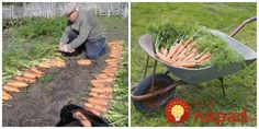 Mrkva nemá zvláštne nároky na polohu, pôdu však potrebuje, pre optimálny vývin koreňov, ľahšie, priepustné, záhrevné a bez kameňov. Najvyššie hlinitopiesočnaté, piesočnatohlinité, ílovitohlinité s obsahom humusu. Na rovnaké miesto ju vysievame s odstupom 4-6 rokov, … Wheelbarrow, Garden Tools, Gardening, Yard Tools, Lawn And Garden, Horticulture