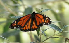 Mariposa monarca (Danaus plexipus)