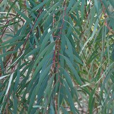 Eucalyptus nicholii (williow leaf peppermint) great for Eco-dieing Eucalyptus Species, Flower Identification, Beautiful Dream, Shibori, Botany, Landscape Design, Wedding Flowers, Plant Leaves, Nature