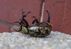 Treasures, Travel, and Tales: I Met an Eastern Hercules Beetle Today