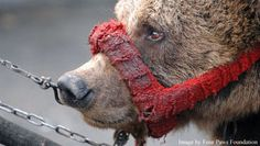 """STOP """"Dancing Bear"""" Cruelty in India ! Please SIGN and SHARE... - Care2 News Network"""