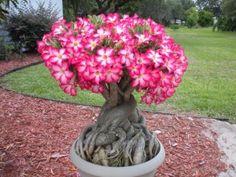 Desert Rose Plant Care: I hope mine looks like this one day! Thanks a billion, Lindsey :D