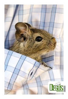 Degu Pocket