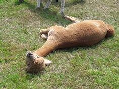 Llama Alpaca, Alpacas, Farm Animals, Humor, Pets, Animales, Humour, Funny Photos, Funny Humor