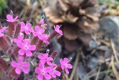 30-100cm kadar boylanabilen, yıllık, iki yıllık ve çok yıllık otsu bir bitkidir. Kökler kazık formlu, kırmızı renktedir. Gövde tüysüz veya kısa tüylerle kaplı; tabanda mor-kırmızı, üst tarafta açık yeşil renkte, silindirik kesitli ve serttir. Yapraklar karşılıklı dizili, mızrak şeklinde, kenarları bütün, hafif dalgalı, koyu yeşil renkli, alt yaprakları 10-15 cm uzunluğunda, üst yaprakları daha küçüktür. Yaprak üzerinde 3-4 belirgin damar bulunur. Çiçeklenme Haziran-Eylül ayları arasındadır…