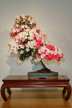 JPB:Bonsai Collection5   Satsuki Azalea (Rhododendron indicum) 'Kaze'   Flickr - Photo Sharing!
