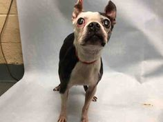 **BLIND**  Super Urgent Brooklyn - MARIBELL - #A1101077 - FEMALE BLACK/WHITE BOSTON TERRIER MIX, 10 Yrs -STRAY - NO HOLD Reason STRAY - Intake 01/05/17 Due Out 01/08/17 - TOLERATES MOST HANDLING, SEVERE CATARACTS, SMALL MASS ON RIGHT THORAX & ON L FRONT METACARPAL, POSS. MURMUR
