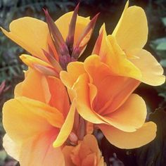 Canna 'Pacific Beauty,' which I plan to combine with a very tall, late-blooming daylily (either 'Autumn Minaret' or 'Challenger,' I can't remember)