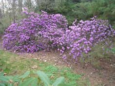 Rhododendron 'P.J.M.' (P.J.M. Hybrid Rhododendron): Broadleaf evergreen shrub; 3 to 6 ft; rounded shape; variable lavender-pink flowers mid to late April; thumb-sized leaves, dark green in summer and plum-purple in fall; full sun or partial shade; acidic soil.
