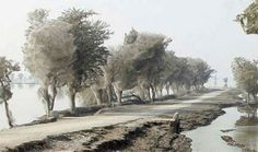 Cocooned Trees: Spiders take to the trees and create this incredible sight during flood season in Pakistan.