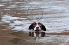 gamekeepers spaniel | Springer Spaniel photography by Betty Fold Gallery
