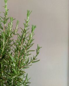 Rosemary in front of a grey wall.