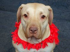SAFE 1/2/15 --- TO BE DESTROYED - 12/29/14 Manhattan Center   My name is PINKY. My Animal ID # is A1023585. I am a spayed female tan and white presa canario mix. The shelter thinks I am about 1 YEAR 10 MONTHS old.  I came in the shelter as a OWNER SUR on 12/19/2014 from NY 11212, owner surrender reason stated was PERS PROB.   Main thread: https://www.facebook.com/photo.php?fbid=928874067125473