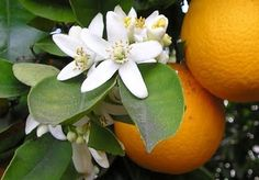Orange Blossoms: nothing else on earth smells this good