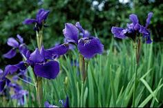 Iris siberica 'Deep Blue' - Google Search
