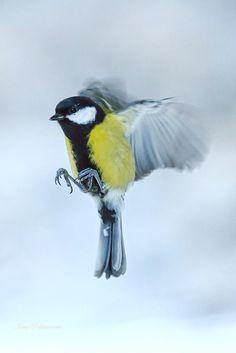 Talitiainen,Great tit.Photo Ismo Pekkarinen #lintu #nature #talitiainen #bird #luonto #great tit