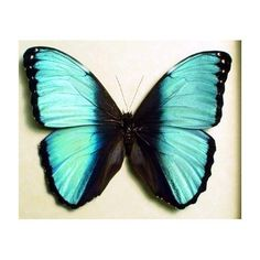 Real Blue Banded Morpho Butterfly by REALBUTTERFLYGIFTS on Etsy, $39.99