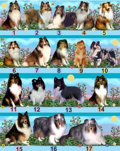 The Shetland Sheepdog, often known as the Sheltie, is a breed of herding dog. They're small to medium dogs, & come in a variety of colors, such as sable, tri-color, & blue merle Hypoallergenic: No Lifespan: 12 – 13 y Height: 37 cm Temperament: Lively, Playful, Reserved, Alert, Gentle, Loyal, Strong, Responsive, Active, Intelligent, Affectionate, Trainable Mass: 7.3 – 9.1 kg (Female), 7.3 – 9.1 kg (Male)