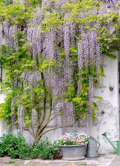 Wisteria used to give texture and color to a whitewashed wall.