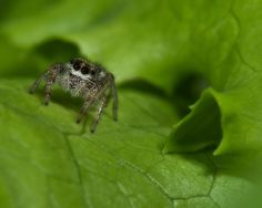 Thanks for Your Interest in Capture Jumping Spider, Beetles, Spiders, Jumpers, Beautiful Creatures, Creepy, Butterflies, Insects, Cute Animals