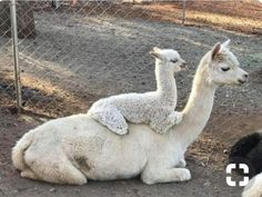 8 best no squat, no lunge exercises for a bigger, rounder, firmer . - Alpaka - Animal world Cute Funny Animals, Cute Baby Animals, Funny Cute, Animals And Pets, Super Funny, Lama Animal, Cute Alpaca, Tier Fotos, Cute Animal Pictures