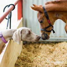 Meeting for the first time. My Weimaraner bitch meeting the new filly for the first time. They hit it off immediately. Shared by dvjones on Animals on July World Farm, Dean Jones, Goofy Dog, Weimaraner, First Time, The One, Cute Animals, Horses, Popular
