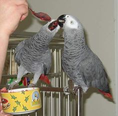 A pair fo african grey parrots for sale Big Animals, Cute Baby Animals, Budgies, Parrots, Cockatiel, Animal Categories, Parrot Pet, African Grey Parrot, English Bull Terriers