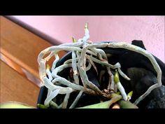 Resultado do cultivo de orquídea no carvão, recuperação! - YouTube