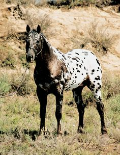 first Appaloosa I ever saw looked like this & I've been looking at them ever since ! All The Pretty Horses, Beautiful Horses, Animals Beautiful, Cute Animals, Horse Photos, Horse Pictures, Appaloosa Horses, Leopard Appaloosa, Friesian Horse