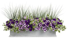 Wild Ride - Supertunia Royal Velvet, Suptertunia Bordeaux, Graceful Grasses Blue Mohawk, Whirlwind W Full Sun Planters, Flower Planters, Garden Planters, Fall Planters, Window Box Flowers, Window Boxes, Flower Boxes, Container Flowers, Container Plants