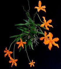 Neocogniauxia monophylla
