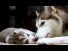 Husky mom bonds with her baby...