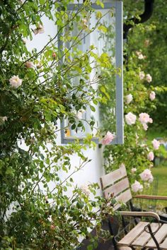 New Dawn roses against my house. So Beautiful with the light pink colour against the grey windows.