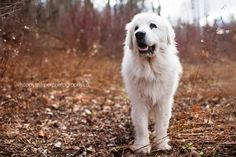photo: Happy Tails Pet Photography  Charlie, a great pyrenees rescue.