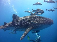 The whale shark is the biggest fish and shark in the world. These gentle marine giants roam the oceans around the globe, generally alone