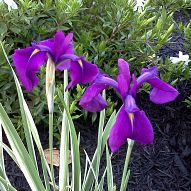 Varigated Iris is one of my favorites in the garden. :: Hometalk