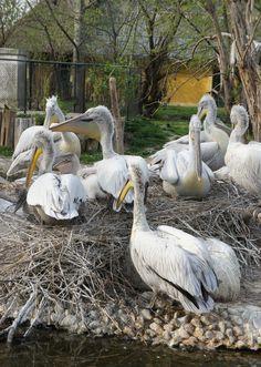 Pelicans in Schönbrunn, zoo of Vienna, Austria. Vienna Austria, Garden Sculpture, Most Beautiful, Old Things, Around The Worlds, Outdoor Decor, Animals, Animales, Animaux