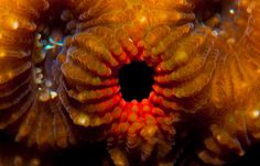 https://flic.kr/p/9M8ZoQ | Black hole- coral macro okinawa | Black hole- coral okinawa Nikon D90 /105mm macro lens  Ikelite housing and 1 160 ikelite strobe  Maeda pt, Okinawa-Jp Depth: 25feet