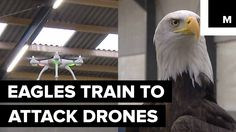 Dutch Police Are Training Eagles to Grab Drones From the Sky