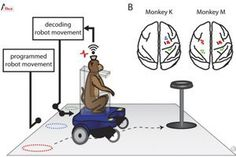 Duke University scientists have given a pair of monkeys the ability to drive a wheelchair with their thoughts alone. The work is described in a paper recently published in the... read more