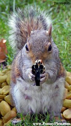 Get your laugh on to Super Funny Squirrel Memes! Funny Squirrel Pictures, Squirrel Memes, Squirrel Hunting, Cute Squirrel, Baby Squirrel, Squirrels, Squirrel Cake, Animals And Pets, Baby Animals