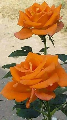 Gorgeous orange roses ✨ ʈɦҽ ƥᎧɲɖ ❤ﻸ•·˙❤•·˙ﻸ❤ ᘡℓvᘠ □☆□ ❉ღ // ✧彡●⊱❊⊰✦❁❀ ‿ ❀ ·✳︎· ☘‿SU JUL 02 2017‿☘✨ ✤ ॐ ♕ ♚ εїз⚜✧❦♥⭐♢❃ ♦♡ ❊☘нανє α ηι¢є ∂αу ☘❊ ღ 彡✦ ❁ ༺✿༻✨ ♥ ♫ ~*~ ♆❤ ☾♪♕✫ ❁ ✦●↠ ஜℓvஜ .❤ﻸ•·˙❤•·˙ﻸ❤