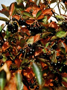 Liten Svartaronia, Aronia melanocarpa 'Hugin', har en fantastiskt lysande roströd höstfärg med svarta ätliga bär i klasar. Bären har ett högt innehåll av antioxidanter och C-vitamin. Passar bra till saft och syltning.