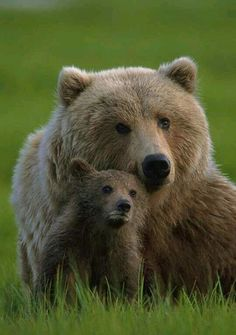 the difference between grizzly bears and pandas
