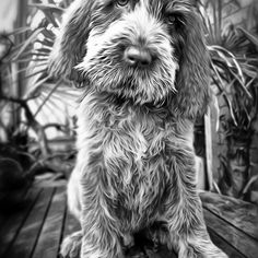 Brown Roan Italian Spinone Puppy Dog