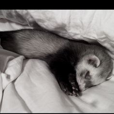 Jimmer, the ferret found at last sleeping in our bed.