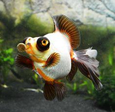 "xmisuzu: "" Demekin & Ryukin "" Oranda Goldfish, Goldfish Pond, Tropical Freshwater Fish, Tropical Fish, Beautiful Sea Creatures, Animals Beautiful, Carpe Koi, Cool Fish, Pet Fish"